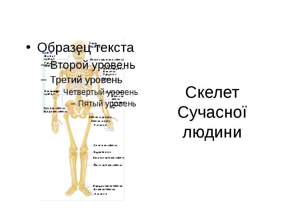 Скелет Сучасної людини