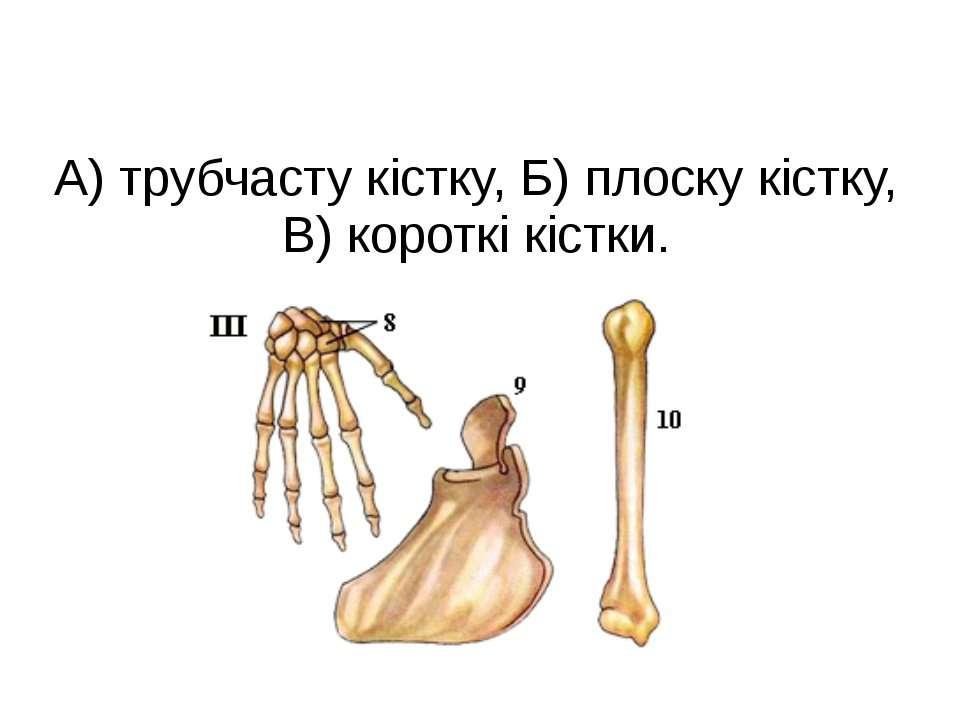 А) трубчасту кістку, Б) плоску кістку, В) короткі кістки.