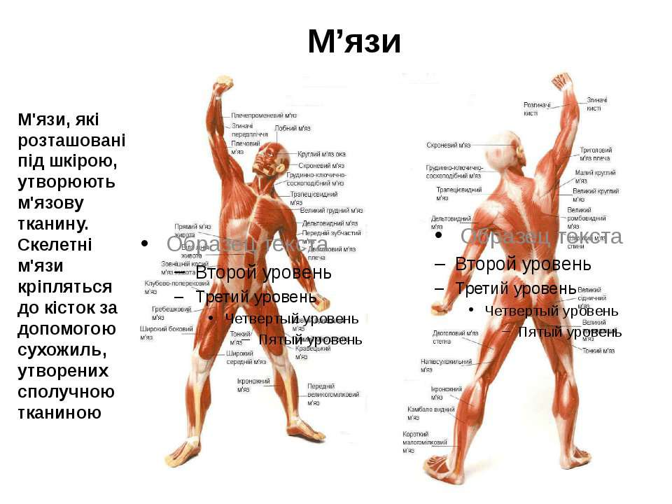 М'язи, які розташовані під шкірою, утворюють м'язову тканину. Скелетні м'язи ...