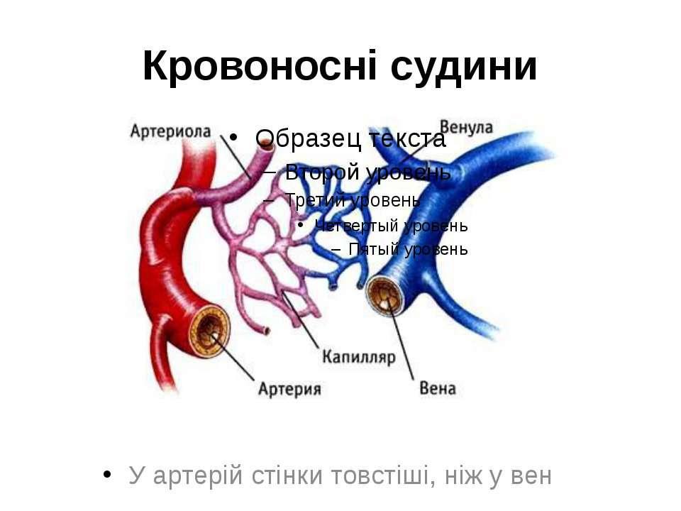 Кровоносні судини У артерій стінки товстіші, ніж у вен