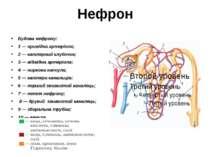 Нефрон Будова нефрону: 1 — привідна артеріола; 2 — капілярний клубочок; 3 — в...