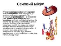 Утворення вторинної сечі. З ниркової капсули первинна сеча надходить до першо...
