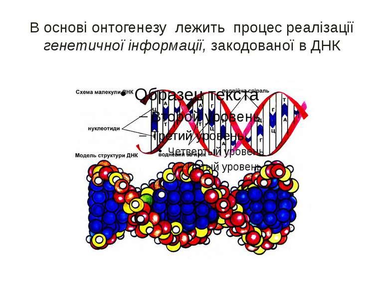В основі онтогенезу лежить процес реалізації генетичної інформації, закодован...