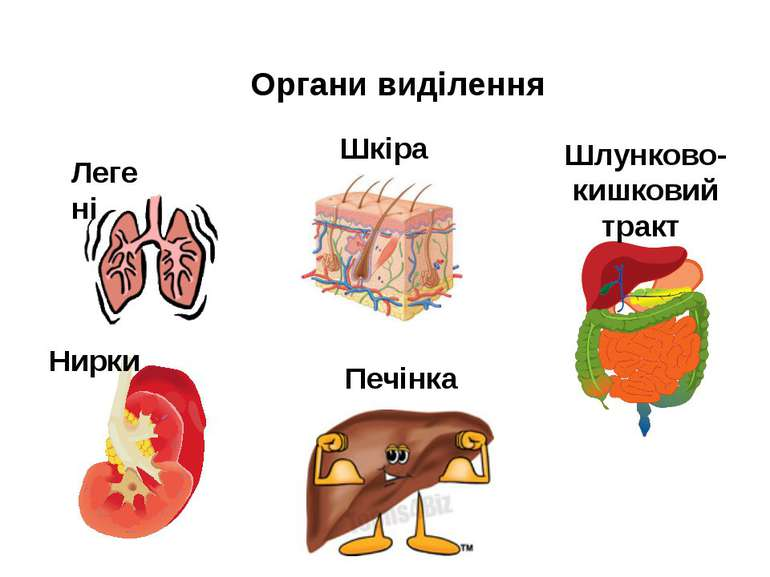 Органи виділення Легені Нирки Печінка Шкіра Шлунково-кишковий тракт
