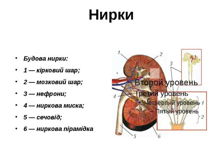Нирки Будова нирки: 1 — кірковий шар; 2 — мозковий шар; 3 — нефрони; 4 — нирк...