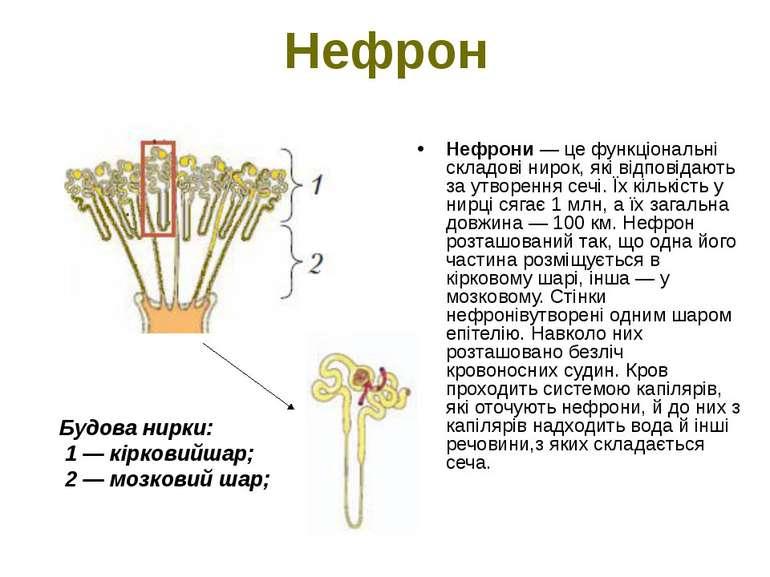 Нефрон Нефрони — це функціональні складові нирок, які відповідають за утворен...
