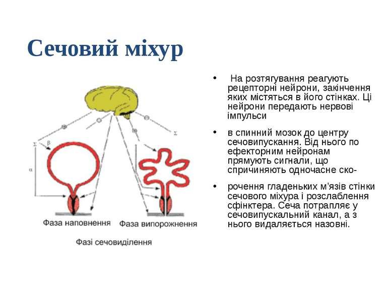 На розтягування реагують рецепторні нейрони, закінчення яких містяться в його...