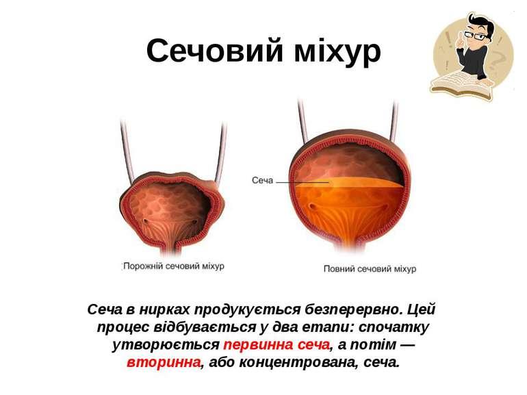 Сеча в нирках продукується безперервно. Цей процес відбувається у два етапи: ...