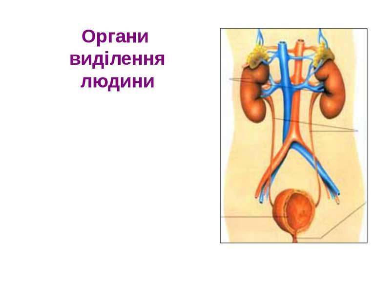 Органи виділення людини