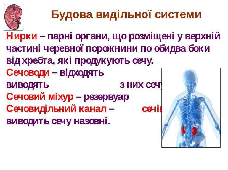 Нирки – парні органи, що розміщені у верхній частині черевної порожнини по об...