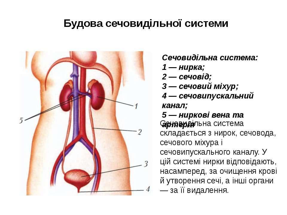 Будова сечовидільної системи Сечовидільна система складається з нирок, сечово...