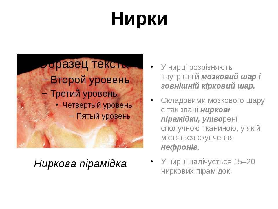 Нирки У нирці розрізняють внутрішній мозковий шар і зовнішній кірковий шар. С...