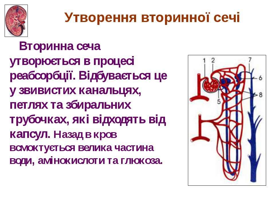 Утворення вторинної сечі Вторинна сеча утворюється в процесі реабсорбції. Від...