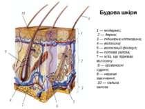 Будова шкіри 1 — епідерміс; 2 — дерма; 3 — підшкірна клітковина; 4 — волосина...