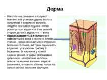 Дерма Міжклітинна речовина сполучної тканини, яка утворює дерму, містить кола...