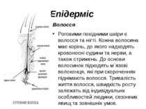 Епідерміс Волосся Роговими похідними шкіри є волосся та нігті. Кожна волосина...
