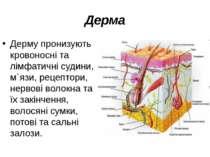 Дерма Дерму пронизують кровоносні та лімфатичні судини, м`язи, рецептори, нер...