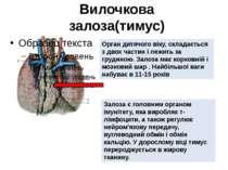 Вилочкова залоза(тимус) Орган дитячого віку, складається з двох частин і лежи...