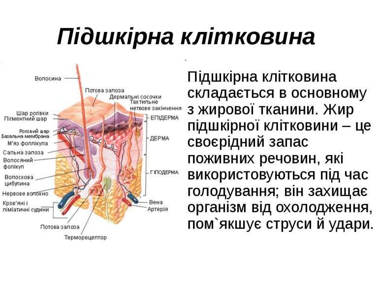 Підшкірна клітковина Підшкірна клітковина складається в основному з жирової т...