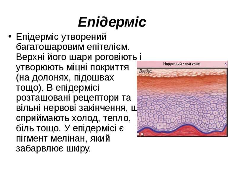 Епідерміс Епідерміс утворений багатошаровим епітелієм. Верхні його шари рогов...