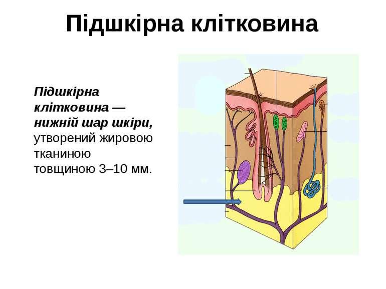 Підшкірна клітковина Підшкірна клітковина — нижній шар шкіри, утворений жиров...