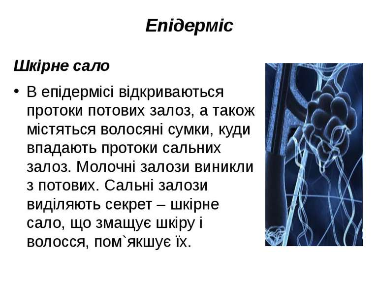 Епідерміс Шкірне сало В епідермісі відкриваються протоки потових залоз, а так...