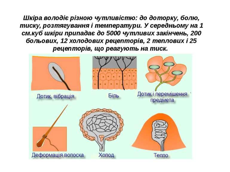 Шкіра володіє різною чутливістю: до доторку, болю, тиску, розтягування і темп...