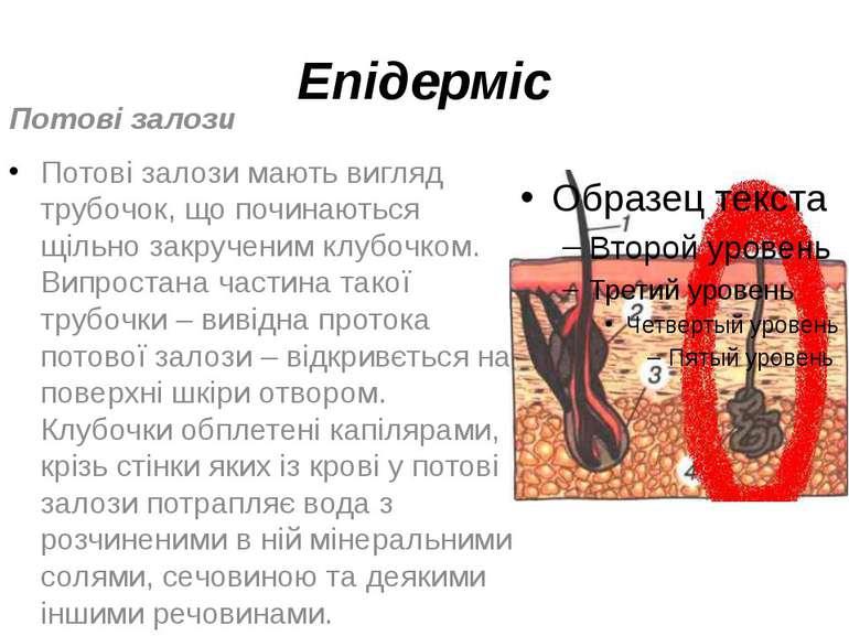 Епідерміс Потові залози Потові залози мають вигляд трубочок, що починаються щ...