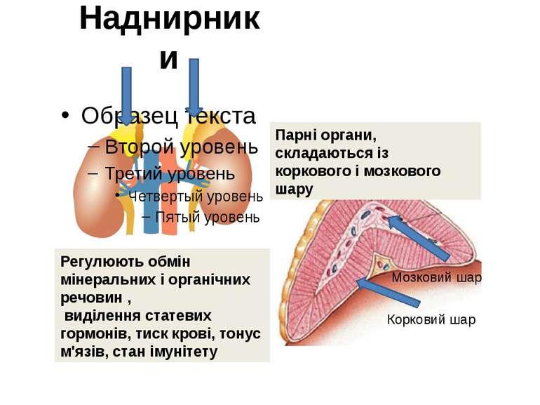 Наднирники Парні органи, складаються із коркового і мозкового шару Регулюють ...
