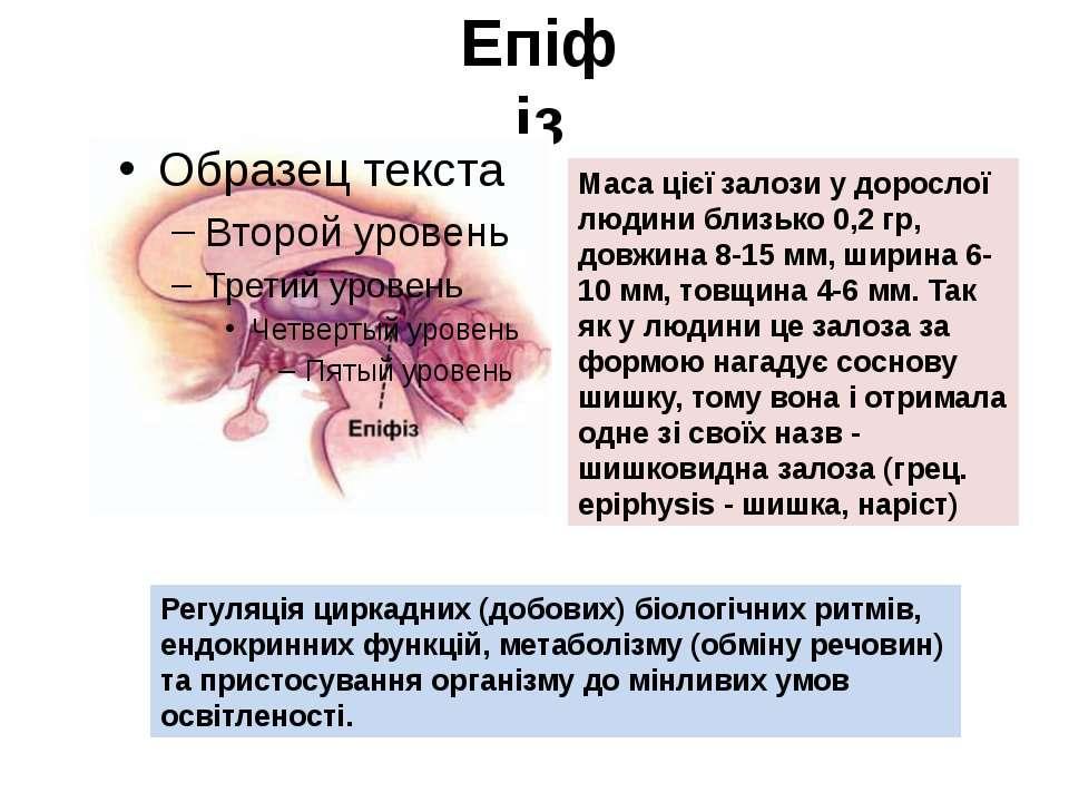 Епіфіз Маса цієї залози у дорослої людини близько 0,2 гр, довжина 8-15 мм, ши...