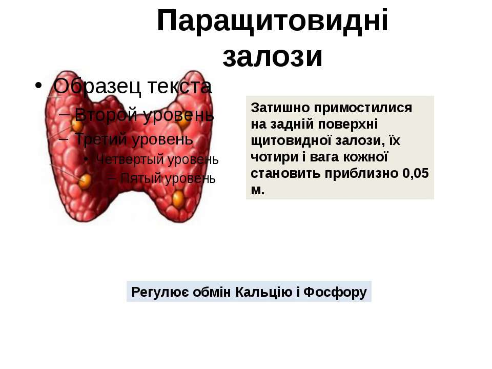 Паращитовидні залози Затишно примостилися на задній поверхні щитовидної залоз...