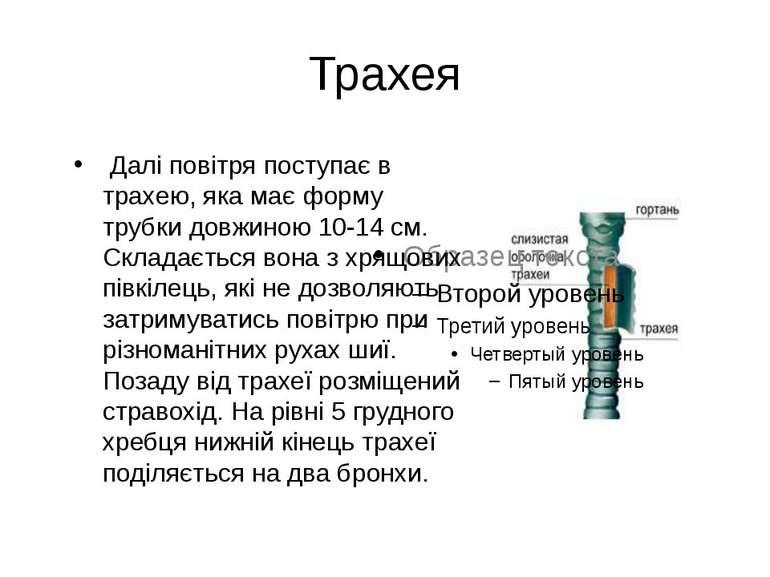 Трахея Далі повітря поступає в трахею, яка має форму трубки довжиною 10-14 см...