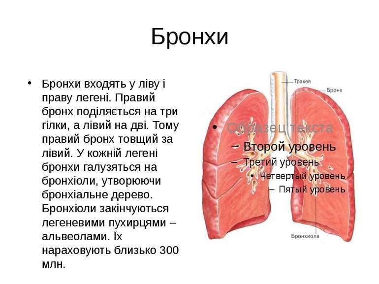 Бронхи Бронхи входять у ліву і праву легені. Правий бронх поділяється на три ...