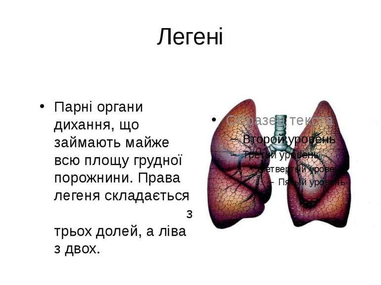 Легені Парні органи дихання, що займають майже всю площу грудної порожнини. П...