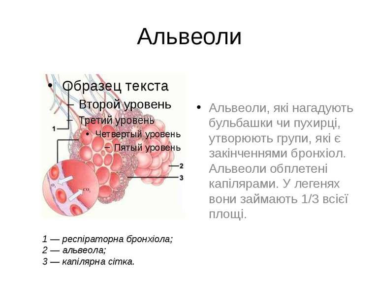 Альвеоли Альвеоли, які нагадують бульбашки чи пухирці, утворюють групи, які є...