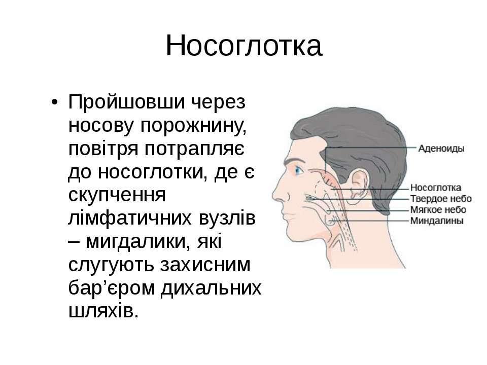 Носоглотка Пройшовши через носову порожнину, повітря потрапляє до носоглотки,...