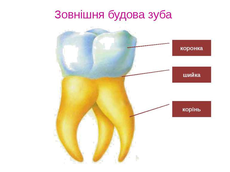 Зовнішня будова зуба коронка шийка корінь