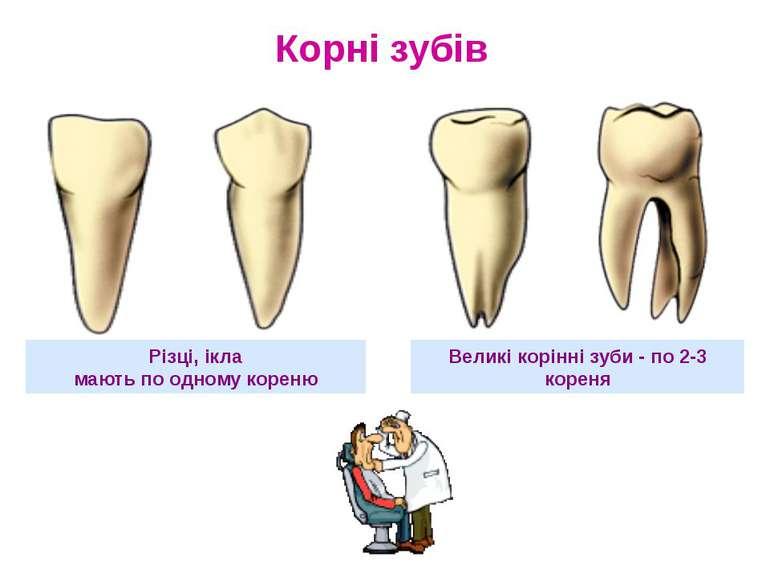 Різці, ікла мають по одному кореню Великі корінні зуби - по 2-3 кореня Корні ...