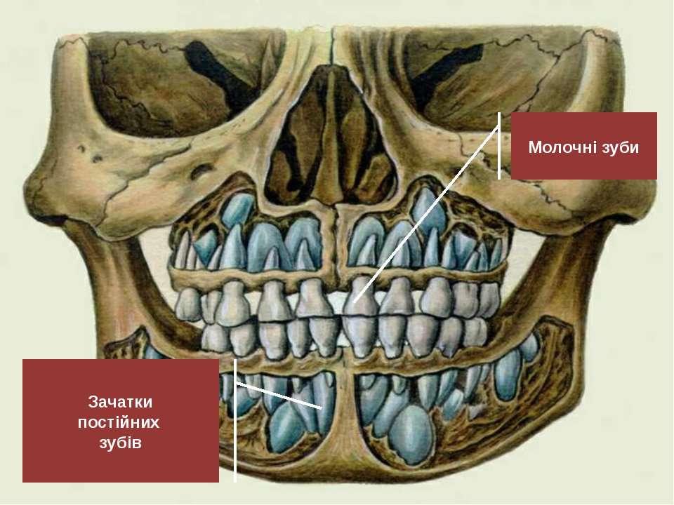 Молочні зуби Зачатки постійних зубів