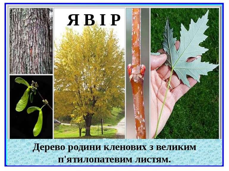 Дерево родини кленових з великим п'ятилопатевим листям. Я В І Р