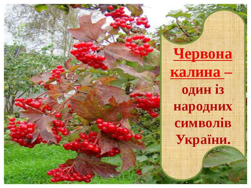 Червона калина – один із народних символів України.