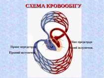 СХЕМА КРОВООБІГУ Ліве предсердя Лівий шлуночок Праве передсердя Правий шлуночок