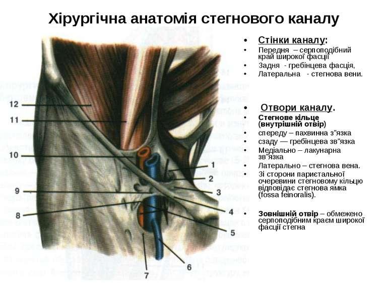 Хірургічна анатомія стегнового каналу Стінки каналу: Передня – серпоподібний ...