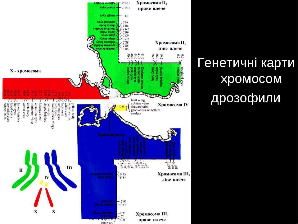 Генетичні карти хромосом дрозофили