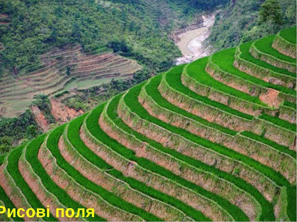 Рисові поля