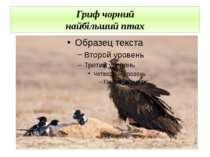 Гриф чорний найбільший птах