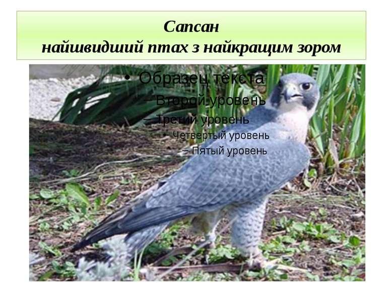 Сапсан найшвидший птах з найкращим зором