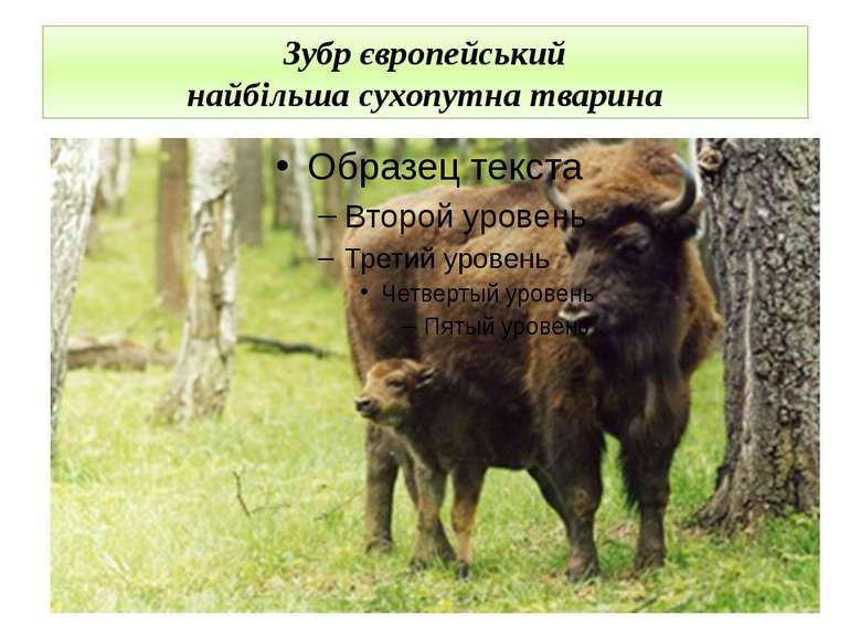 Зубр європейський найбільша сухопутна тварина