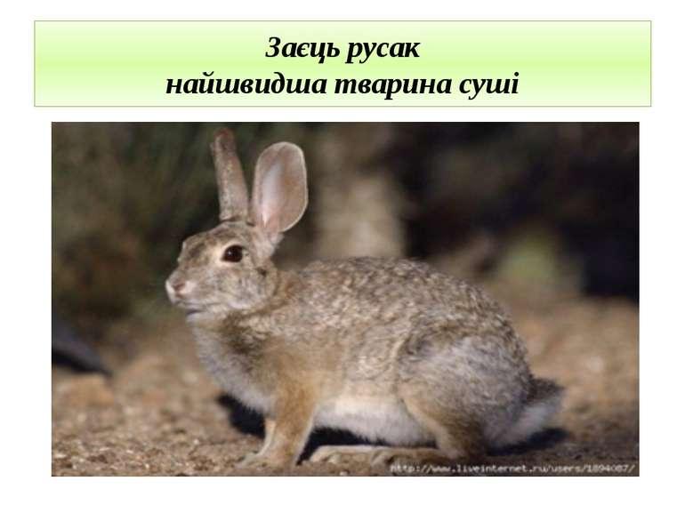 Заєць русак найшвидша тварина суші