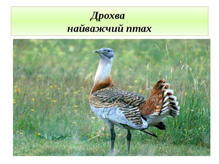 Дрохва найважчий птах